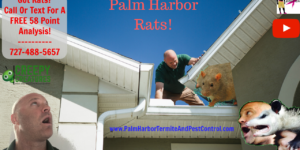 How to trap rats in Palm Harbor, FL