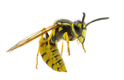 close up of a yellow jacket