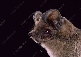 Handsome Bat