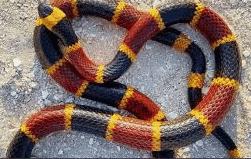 A venomous coral snake
