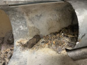 Rat AND raccoon droppings in a dryer vent. Rats brought the raccoon droppings in.